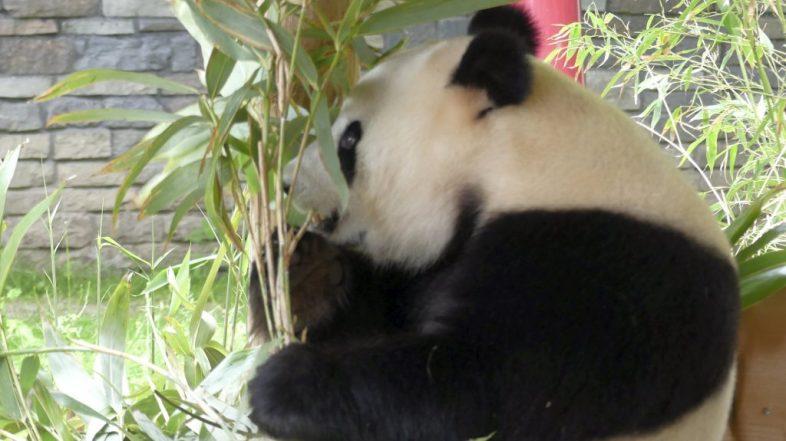 Ouwehand_PandaHuisWoWeng3